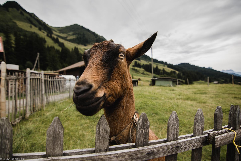 Road trip Suisse : chèvre dans la montagne