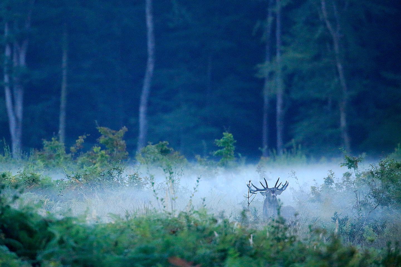 cerf en forêt de bercé