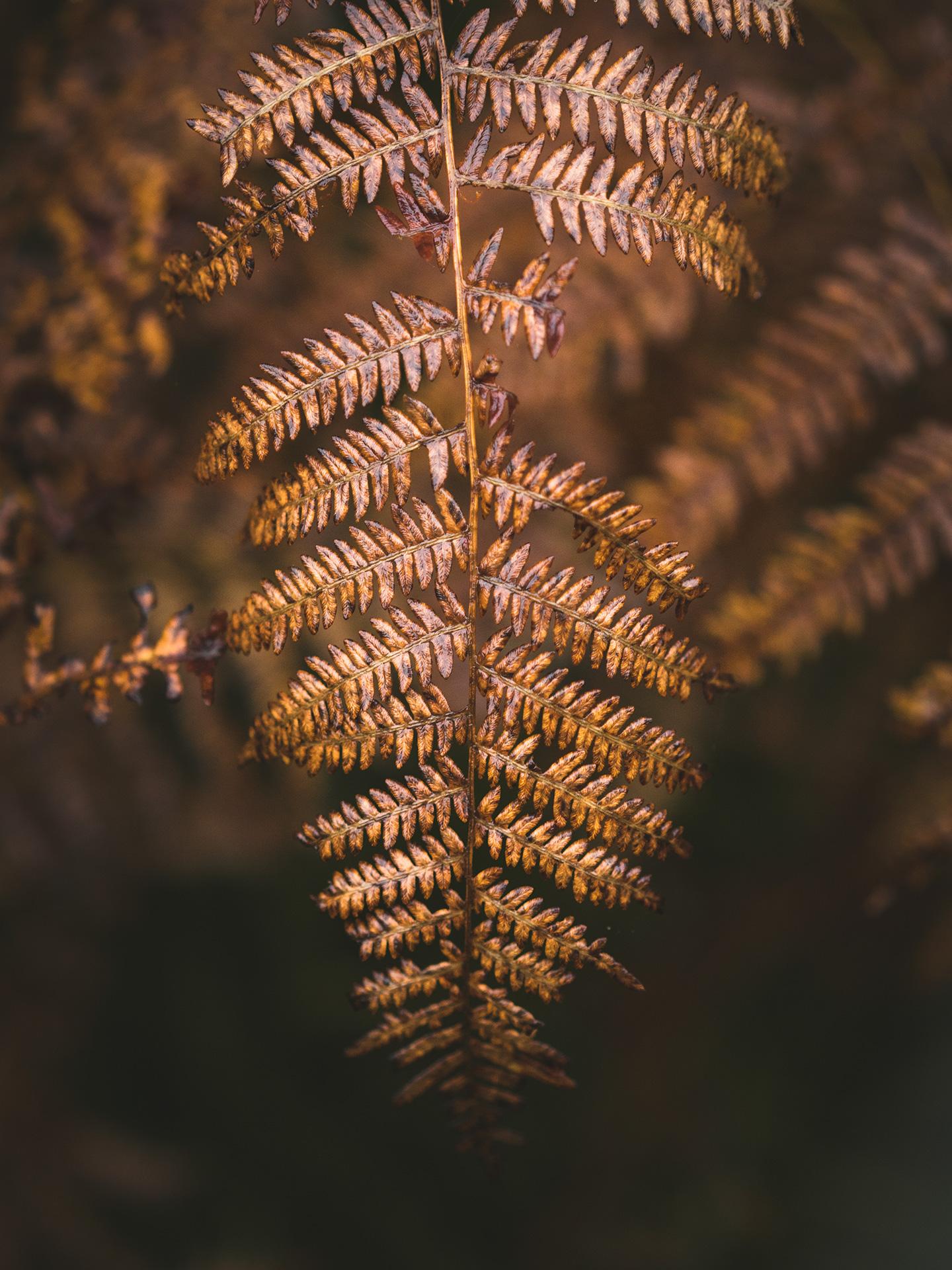 fougère d'automne
