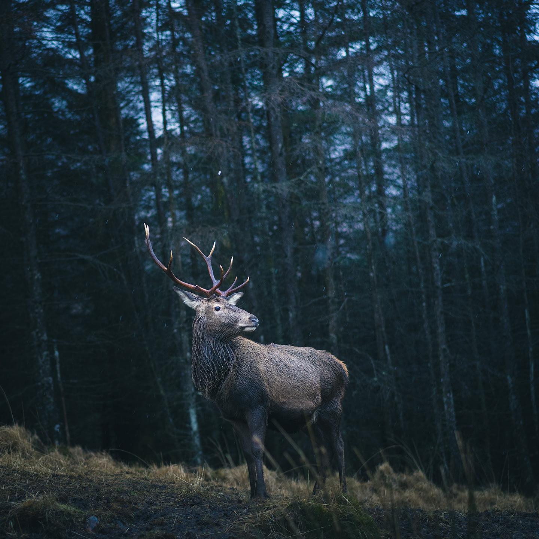 cerf en Écosse